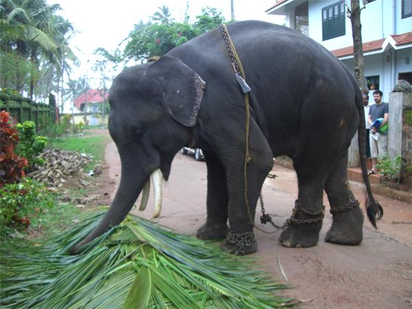 elephant varkala