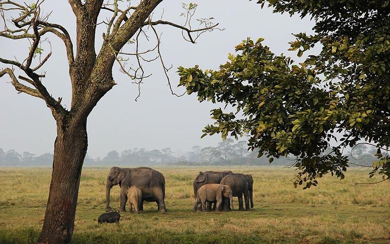 éléphants à kaziranga